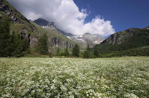 Field of Flowers in the Vanoise National Park, Peisey-Vallandry