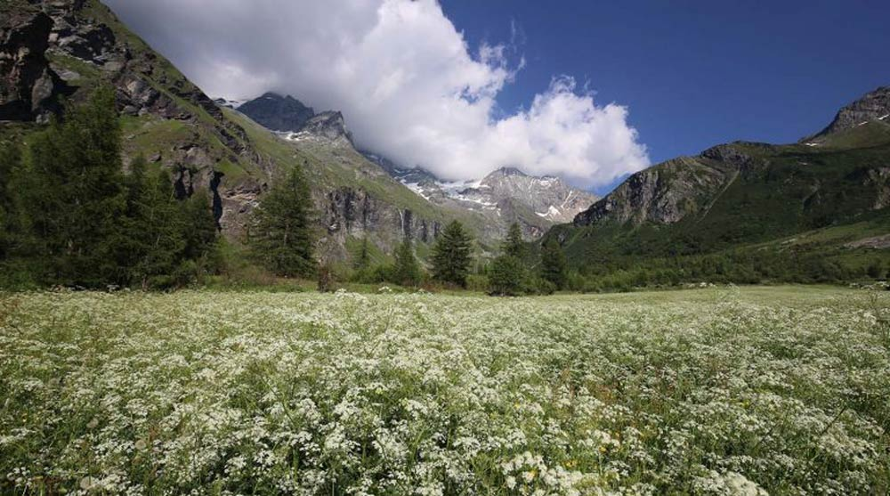 Field of Flowers in Vanoise National Park, Peisey-Vallandry